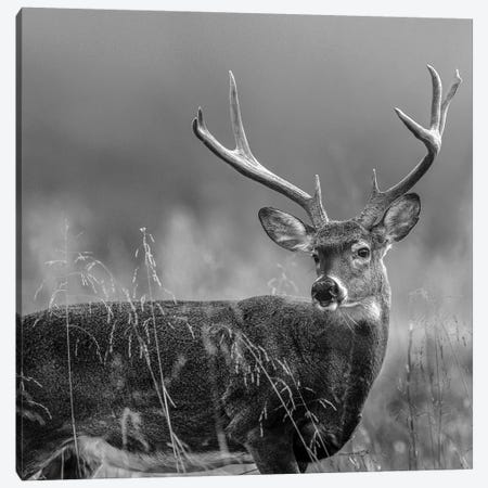 White-tailed Deer Buck, North America Canvas Print #TFI1832} by Tim Fitzharris Canvas Artwork