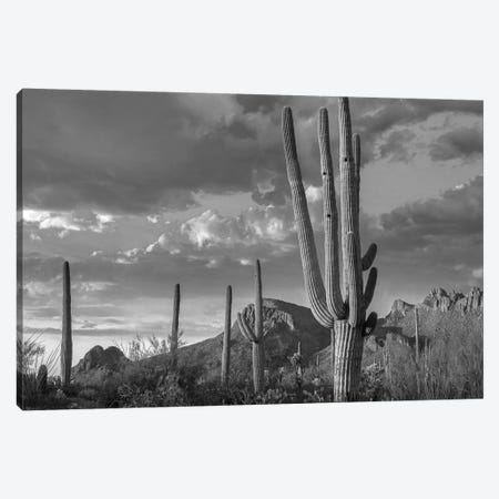 Woodpecker holes in Saguaro Cactus, Tucson Mountains, Saguaro National Park (West), Arizona Canvas Print #TFI1834} by Tim Fitzharris Canvas Print