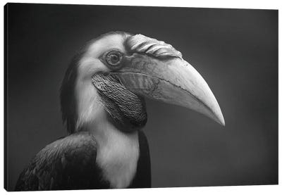 Wreathed Hornbill male, Malaysia Canvas Art Print