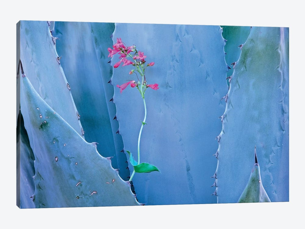 Agave And Parry's Penstemon Close Up, North America II by Tim Fitzharris 1-piece Art Print
