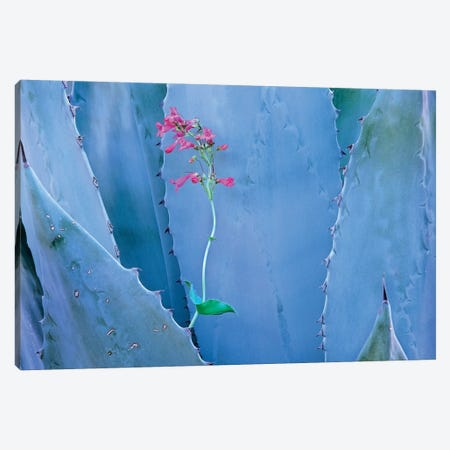 Agave And Parry's Penstemon Close Up, North America II 3-Piece Canvas #TFI18} by Tim Fitzharris Canvas Print