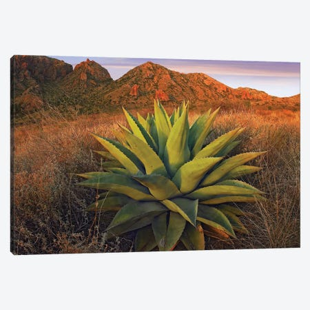 Agave Plants And Chisos Mountains Seen From Chisos Basin, Big Bend National Park, Chihuahuan Desert, Texas Canvas Print #TFI19} by Tim Fitzharris Art Print
