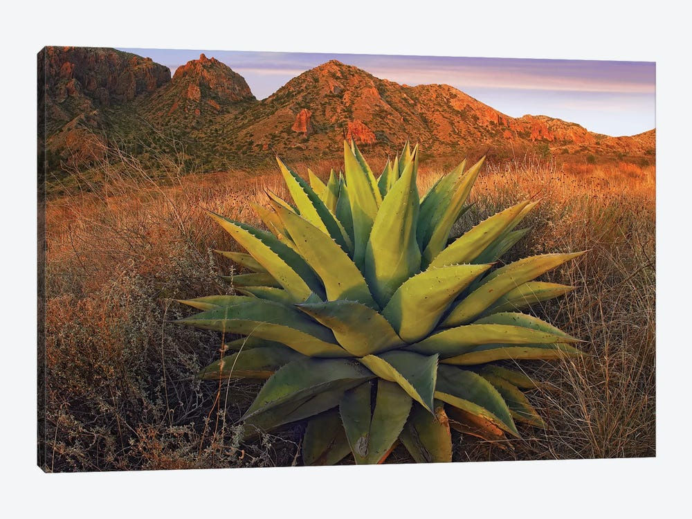 Agave Plants And Chisos Mountains Seen From Chisos Basin, Big Bend National Park, Chihuahuan Desert, Texas by Tim Fitzharris 1-piece Canvas Art