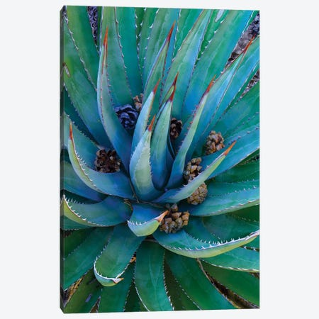 Agave Plants With Pine Cones, North America Canvas Print #TFI20} by Tim Fitzharris Canvas Art