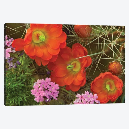 Claret Cup Cactus And Verbena Detail Of Flowers In Bloom, North America Canvas Print #TFI216} by Tim Fitzharris Canvas Artwork