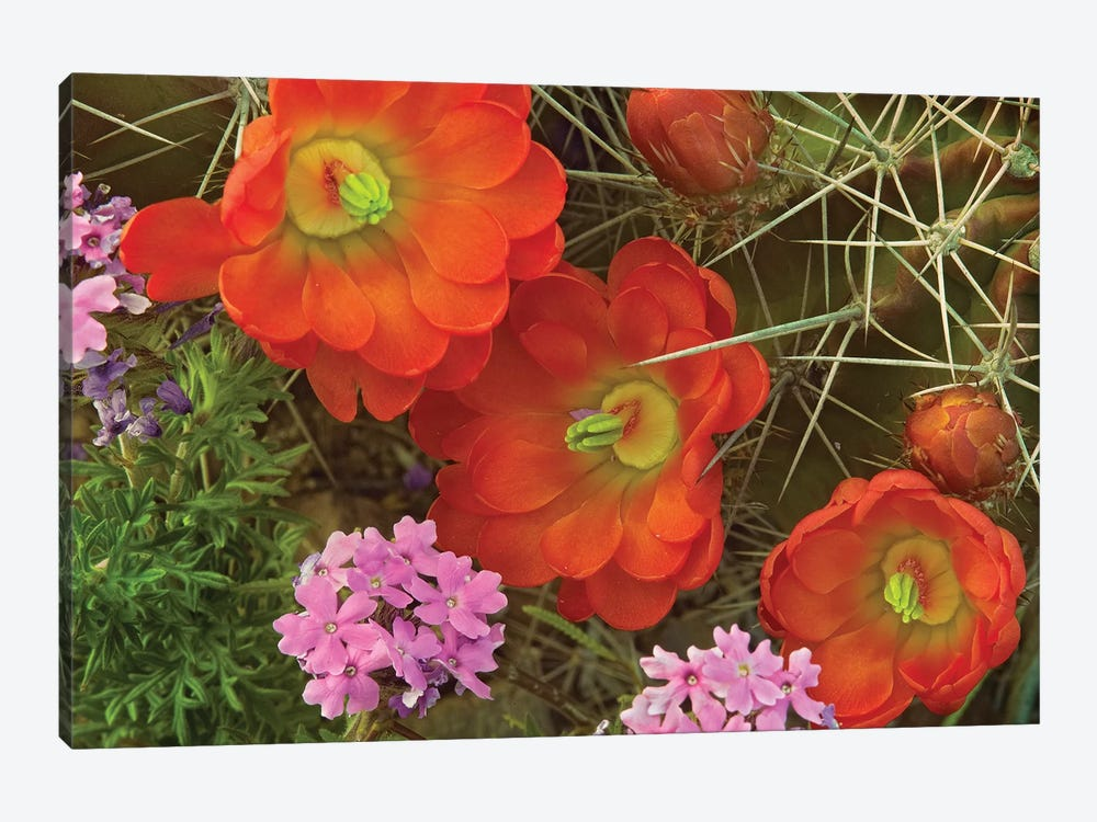 Claret Cup Cactus And Verbena Detail Of Flowers In Bloom, North America by Tim Fitzharris 1-piece Canvas Wall Art