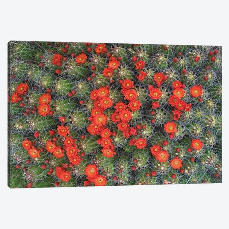 Claret Cup Cactus Detail Of Flowers In Bloom, North America I Canvas Print #TFI217} by Tim Fitzharris Canvas Wall Art