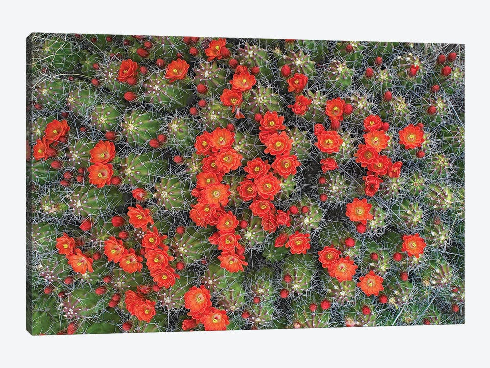 Claret Cup Cactus Detail Of Flowers In Bloom, North America I by Tim Fitzharris 1-piece Canvas Art Print