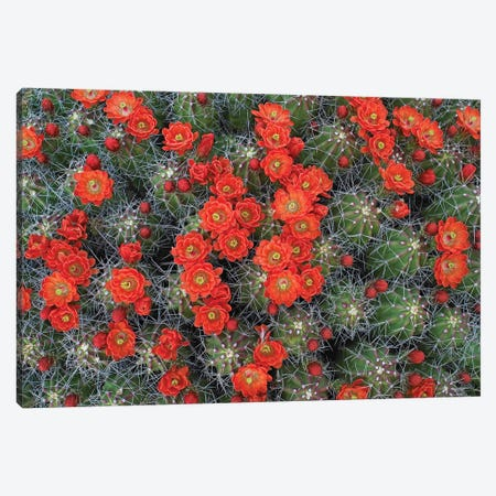 Claret Cup Cactus Detail Of Flowers In Bloom, North America II Canvas Print #TFI218} by Tim Fitzharris Canvas Art Print