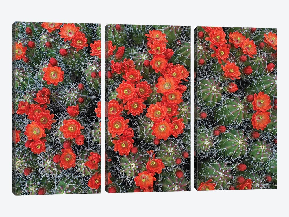 Claret Cup Cactus Detail Of Flowers In Bloom, North America II by Tim Fitzharris 3-piece Canvas Artwork