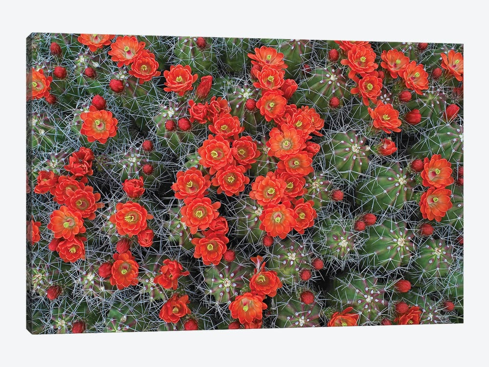 Claret Cup Cactus Detail Of Flowers In Bloom, North America II by Tim Fitzharris 1-piece Canvas Wall Art