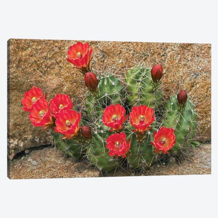 Claret Cup Cactus Flowering, Utah Canvas Print #TFI219} by Tim Fitzharris Canvas Print