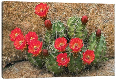 Claret Cup Cactus Flowering, Utah Canvas Art Print