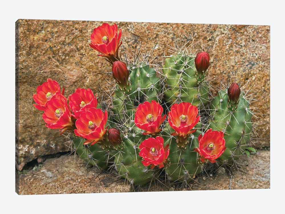 Claret Cup Cactus Flowering, Utah by Tim Fitzharris 1-piece Canvas Print
