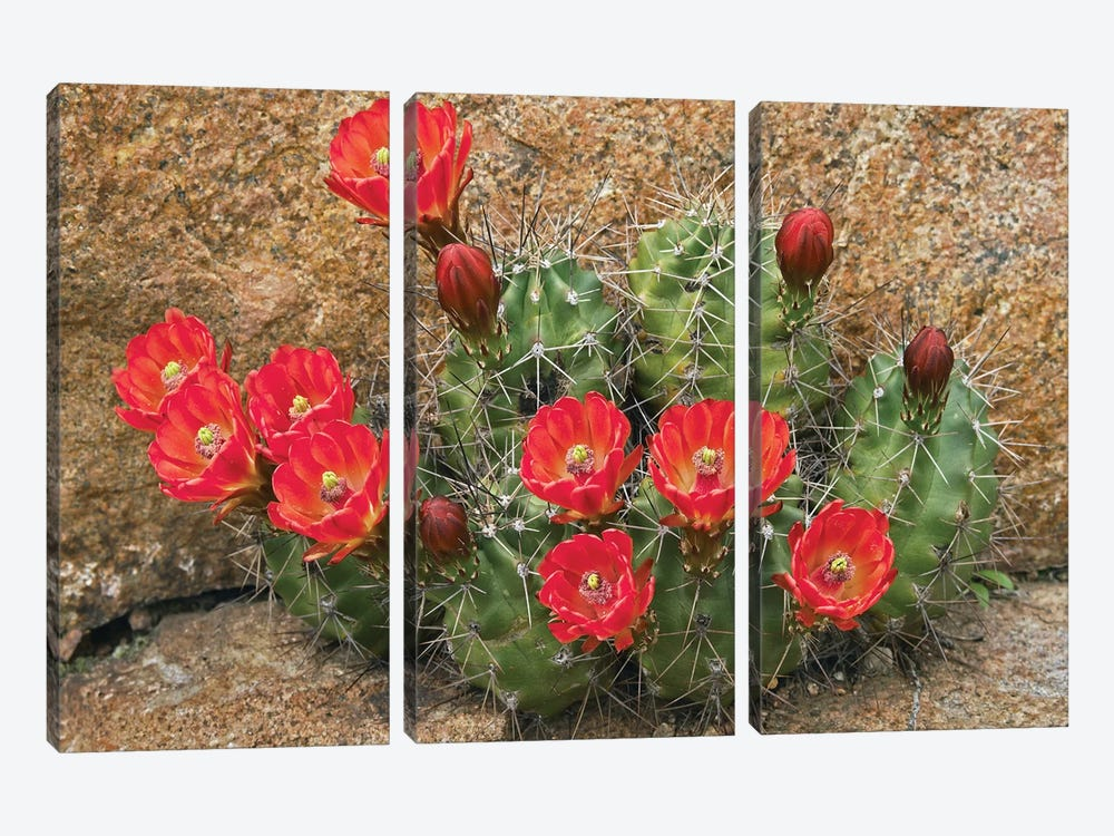 Claret Cup Cactus Flowering, Utah by Tim Fitzharris 3-piece Art Print