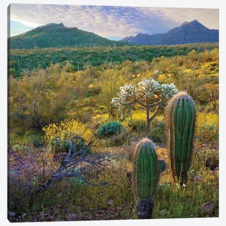 Ajo Mountains, Organ Pipe Cactus National Monument, Sonoran Desert, Arizona Canvas Print #TFI21} by Tim Fitzharris Canvas Art