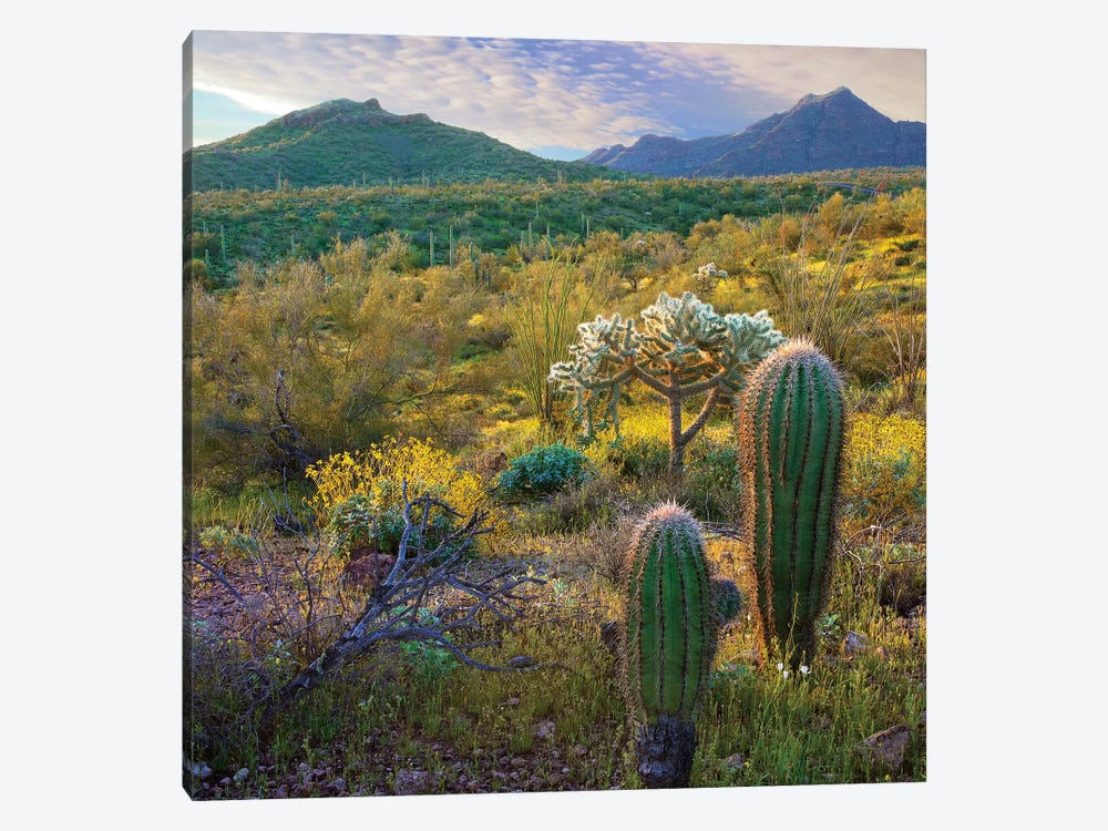 Ajo Mountains, Organ Pipe Cactus National Monument, Sonoran Desert, Arizona by Tim Fitzharris 1-piece Art Print