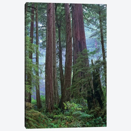 Coast Redwood Old Growth Stand, Del Norte Coast Redwoods State Park, California Canvas Print #TFI228} by Tim Fitzharris Canvas Artwork