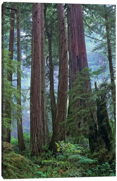Coast Redwood Old Growth Stand, Del Norte Coast Redwoods State Park, California Canvas Art Print