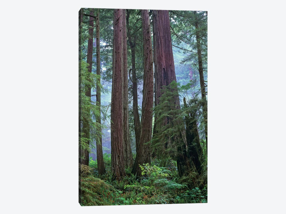 Coast Redwood Old Growth Stand, Del Norte Coast Redwoods State Park, California by Tim Fitzharris 1-piece Canvas Print