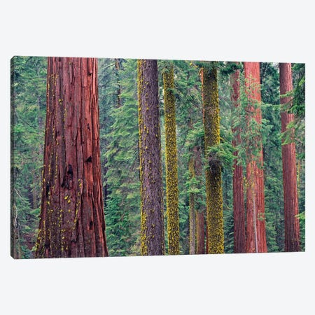 Coast Redwood Trees, Mariposa Grove, Yosemite National Park, California Canvas Print #TFI229} by Tim Fitzharris Canvas Wall Art