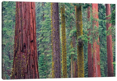 Coast Redwood Trees, Mariposa Grove, Yosemite National Park, California Canvas Art Print