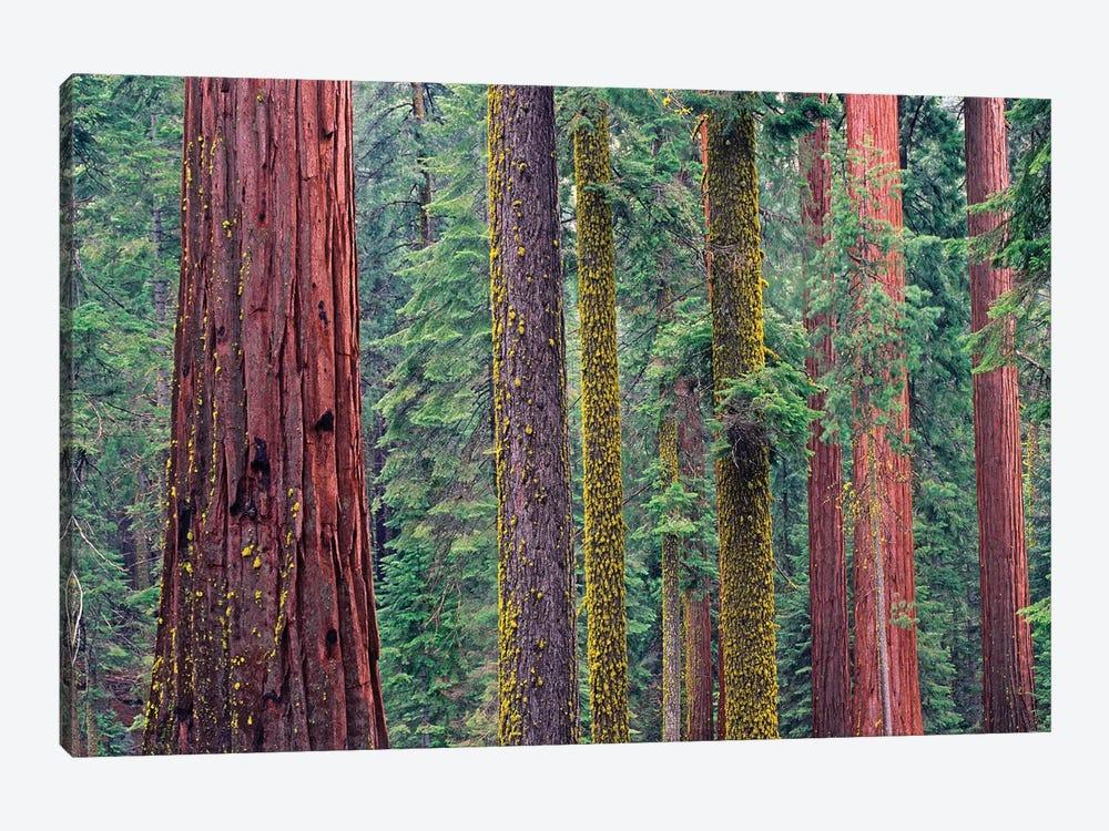 Coast Redwood Trees, Mariposa Grove, Yosemite National Park, California by Tim Fitzharris 1-piece Canvas Art