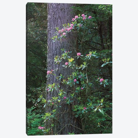 Coast Redwood Trunk And Pacific Rhododendron, Del Norte Coast Redwoods State Park, Redwood National Park, California Canvas Print #TFI230} by Tim Fitzharris Canvas Art Print