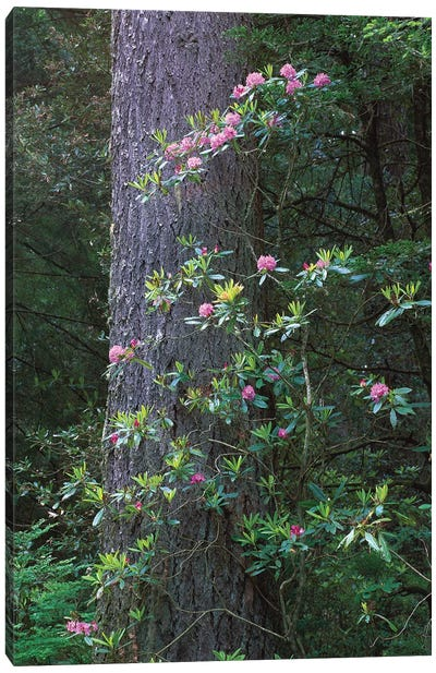 Coast Redwood Trunk And Pacific Rhododendron, Del Norte Coast Redwoods State Park, Redwood National Park, California Canvas Art Print