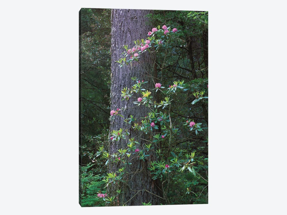 Coast Redwood Trunk And Pacific Rhododendron, Del Norte Coast Redwoods State Park, Redwood National Park, California by Tim Fitzharris 1-piece Canvas Art