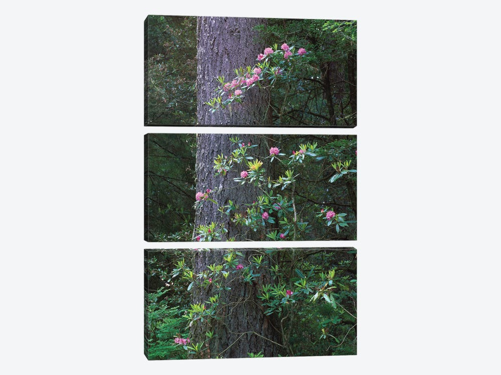 Coast Redwood Trunk And Pacific Rhododendron, Del Norte Coast Redwoods State Park, Redwood National Park, California by Tim Fitzharris 3-piece Canvas Art