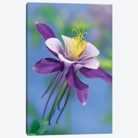 Colorado Blue Columbine Close Up Of Bloom, North America Canvas Print #TFI243} by Tim Fitzharris Canvas Artwork