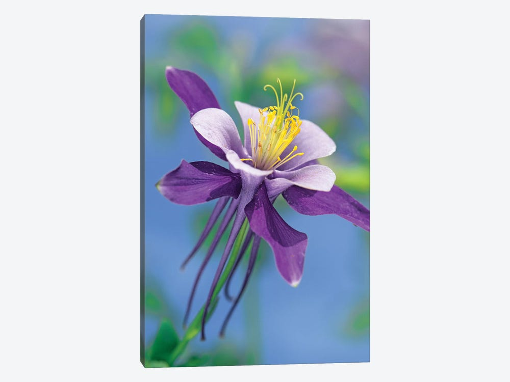 Colorado Blue Columbine Close Up Of Bloom, North America by Tim Fitzharris 1-piece Canvas Wall Art