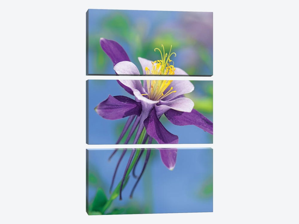Colorado Blue Columbine Close Up Of Bloom, North America by Tim Fitzharris 3-piece Canvas Art