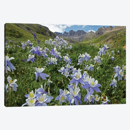 Colorado Blue Columbine Flowers, American Basin, Colorado I Canvas Print #TFI244} by Tim Fitzharris Art Print