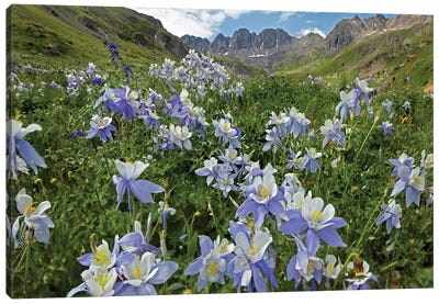 Colorado Blue Columbine Flowers, American Basin, Colorado I Canvas Art Print