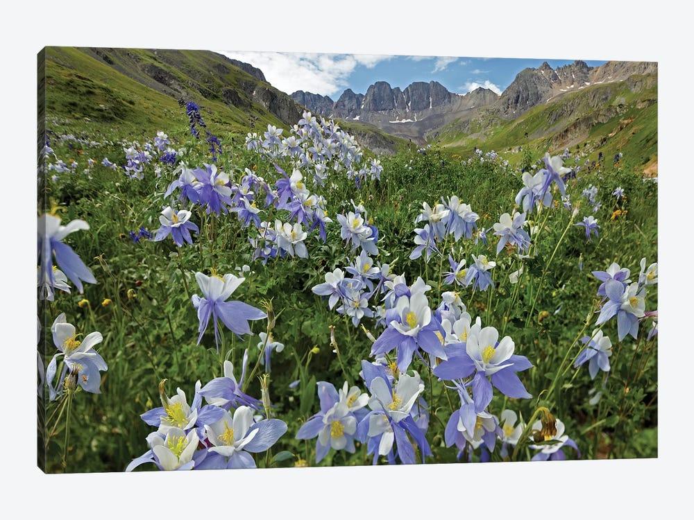 Colorado Blue Columbine Flowers, American Basin, Colorado I by Tim Fitzharris 1-piece Canvas Art Print