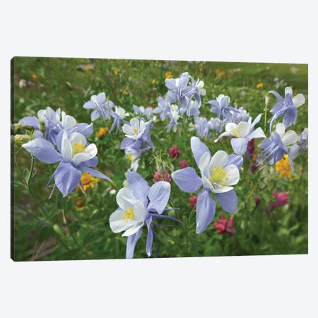 Colorado Blue Columbine Flowers, American Basin, Colorado II Canvas Print #TFI245} by Tim Fitzharris Canvas Print
