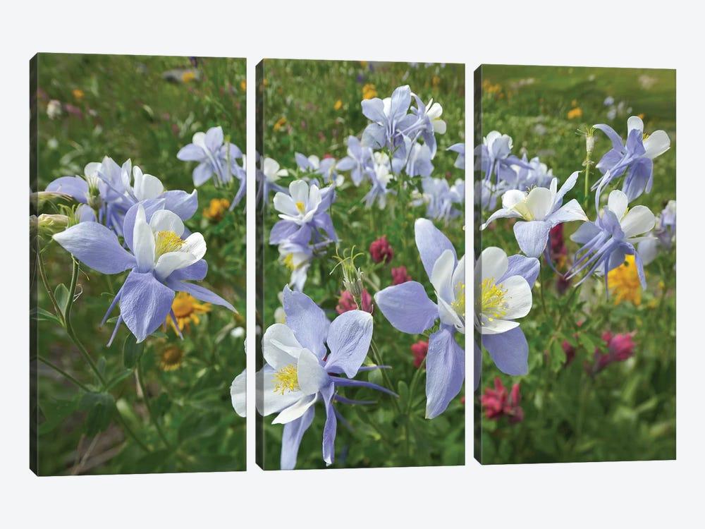 Colorado Blue Columbine Flowers, American Basin, Colorado II by Tim Fitzharris 3-piece Canvas Wall Art