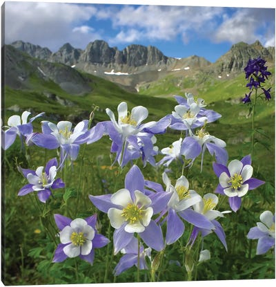 Colorado Blue Columbine Meadow At American Basin, Colorado Canvas Art Print