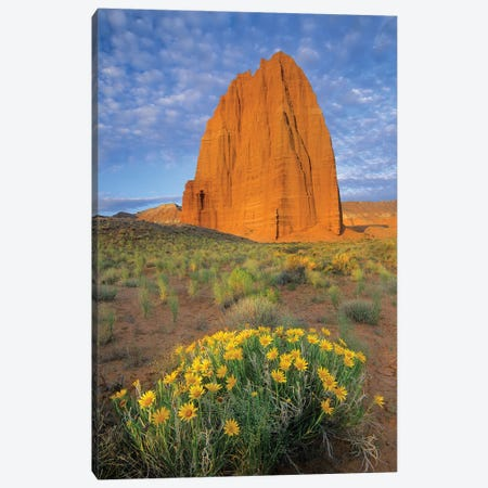 Common Sunflower Cluster And Temple Of The Sun, Capitol Reef National Park, Utah I Canvas Print #TFI255} by Tim Fitzharris Canvas Artwork