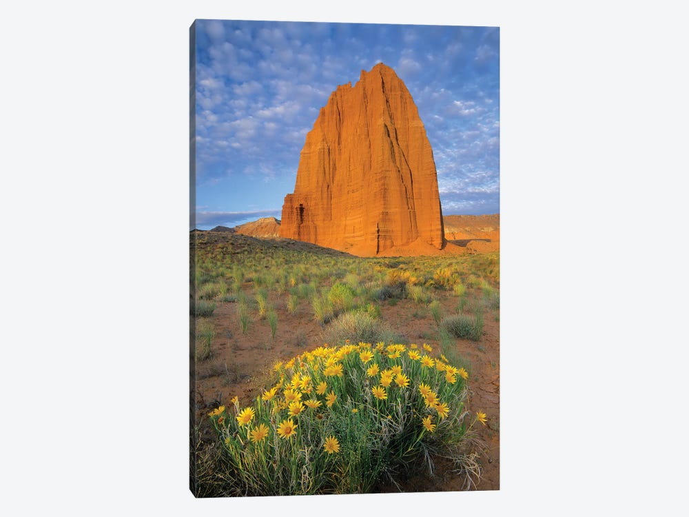 Common Sunflower Cluster And Temple Of The Sun, Capitol Reef National Park, Utah I by Tim Fitzharris 1-piece Canvas Art Print