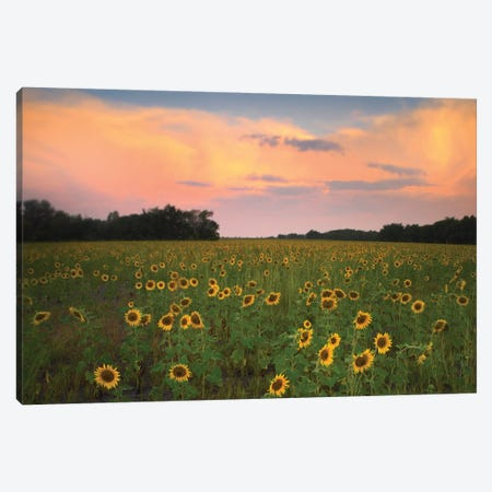 Common Sunflower Field Near Flint Hills National Wildlife Refuge, Kansas Canvas Print #TFI257} by Tim Fitzharris Canvas Artwork