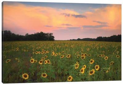 Common Sunflower Field Near Flint Hills National Wildlife Refuge, Kansas Canvas Art Print