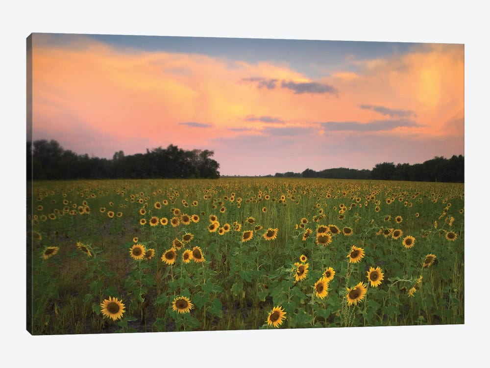 Common Sunflower Field Near Flint Hills National Wildlife Refuge, Kansas 1-piece Canvas Print