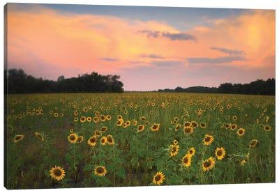 Common Sunflower Field Near Flint Hills National Wildlife Refuge, Kansas Canvas Art Print