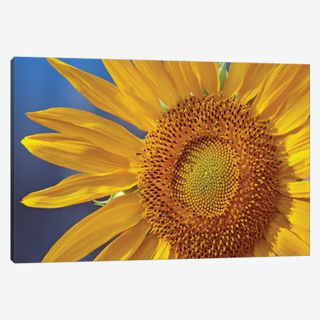 Common Sunflower Flower, North America Canvas Print #TFI258} by Tim Fitzharris Canvas Print