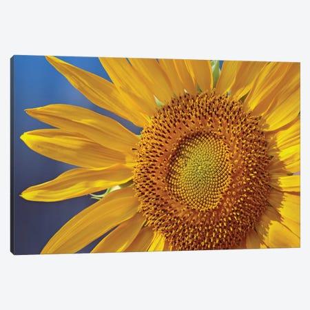 Common Sunflower Flower, North America Canvas Print #TFI258} by Tim Fitzharris Canvas Print