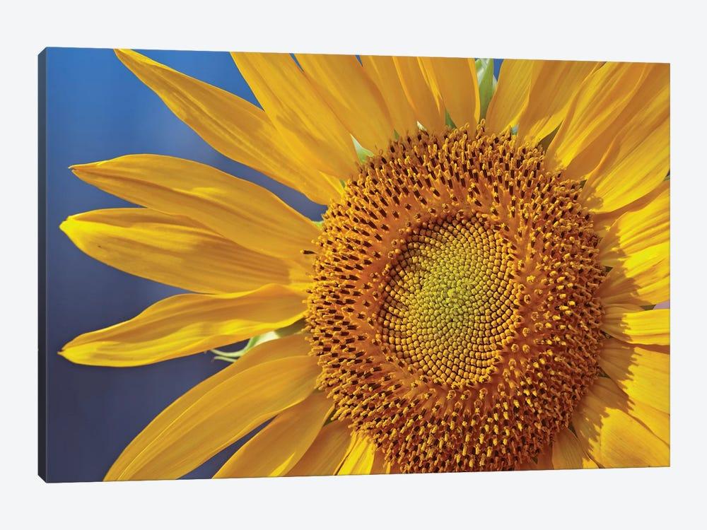 Common Sunflower Flower, North America by Tim Fitzharris 1-piece Canvas Art