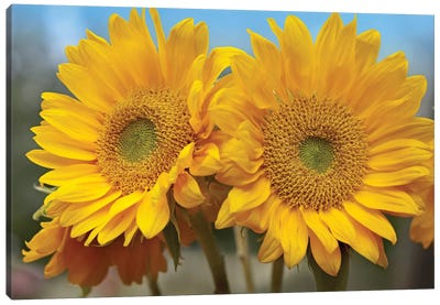 Common Sunflower Flowers, North America Canvas Art Print